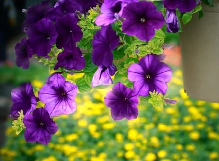 green purple: close up purple flower in hanging plantation decorated in garden with blur yellow and green background Stock Photo