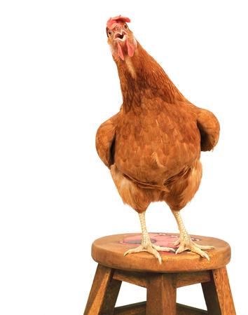 aves de corral: cerca retrato de cuerpo completo de huevos marrones femeninos gallina de pie