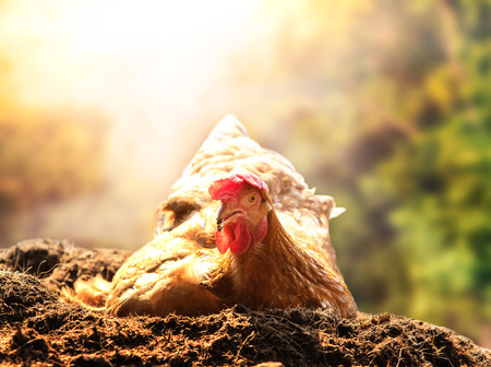 natural cock: relaxing of chicken hen lying in dirt soil against beautiful sun light background use good management in livestock farm and agriculture in rural scene