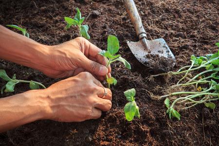 人間の手が汚れ土壌用のガーデニングと自然」の人々 の活動に若いヒマワリ植物を植える