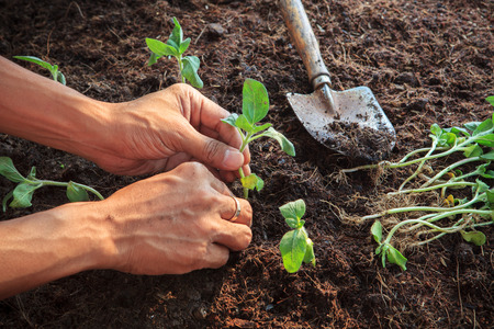 organic plants: human hand planting young sunflowers plant on dirt soil use for people activities in gardening and nature topic