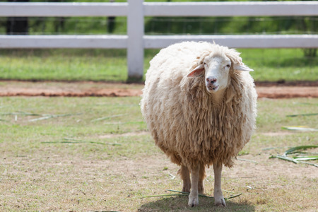 farm animals: face of merino sheep in ranch farm use for farm animals and livestock topic Stock Photo
