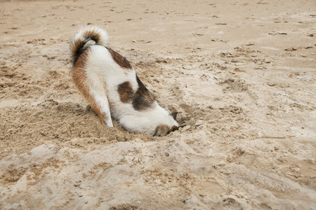 head in the sand: dog head in sand beach like ostrich shame and fear Stock Photo