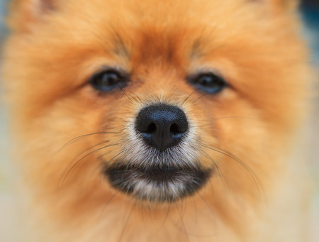 nose close up: close up good healthy nose of pomeranian dog,good health of dog with moisture around