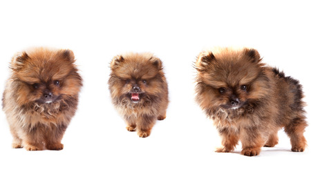 isoalated: face of three lovely pomeranian dog puppies standing and looking to veiwer isolated on white background use for doggy theme and pets lover Stock Photo