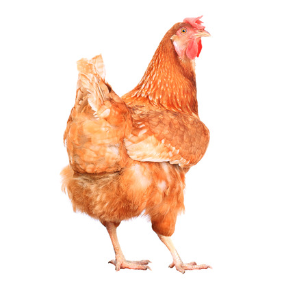 red hen: full body of brown chicken hen standing isolated white background use for farm animals and livestock theme