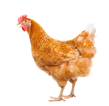 hen: full body of brown chicken hen standing isolated white background use for farm animals and livestock theme