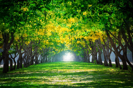 land scape: fresh and green beautiful of summer blooming yellow flowers tunnel in park , Golden shower,Cassia fistula,perspective land scape use for natural background,backdrop