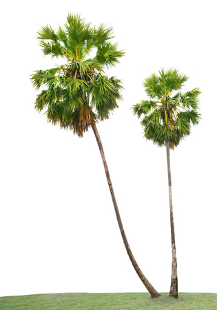 cambodian palm: foglie verdi di Asian Palmyra palma, Toddy di palma, zucchero di palma, palmo cambogiana, sul campo di erba verde isolato sfondo bianco uso per giardino e parco decorate