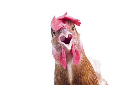pollo: cerca retrato de cuerpo completo de huevos marrones femeninos gallina espect�culo de pie hermoso plumaje, plumas fondo blanco aislado uso para el ganado y los animales de granja tema