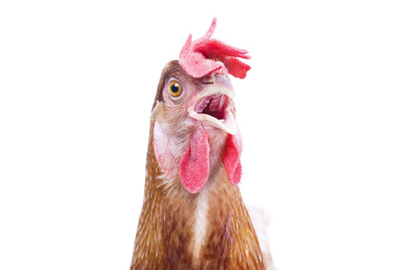 close up bill ,beak ,eye and face of chicken livestock with funny acting isolated white background use for lovely livestock and farm animals theme 版權商用圖片