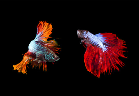 fighting fish: two of beautiful color betta fighting fish preparing to fight on black background use for animals and aquarium pets theme Stock Photo