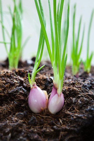 organically: close up  cultivated organically grown red onions, red baron planting in home garden field