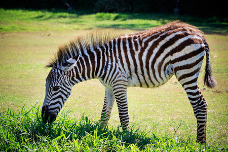 dusky: full body and shown beautiful stripe of young zebra eating green grass in open field Stock Photo