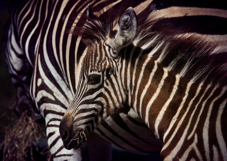 close up face of young african wilderness zebra pony in field photo