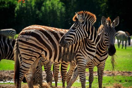 animales safari: cebra salvaje de pie en el campo de hierba verde contra hermosa utilización cielo oscuro por la vida y los animales salvajes en África de safari desierto