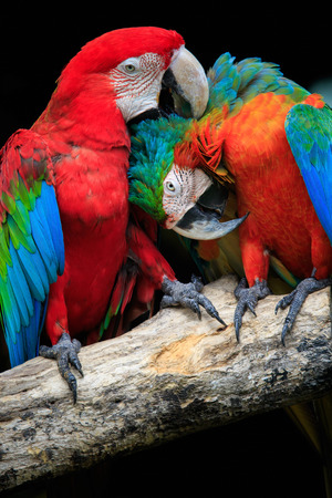close up couples of beautiful of scarlet macaw birds peaning and perching on dry tree brand against dark background photo