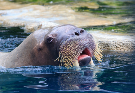close up face: close up face of walrus floating in deep blue water Stock Photo