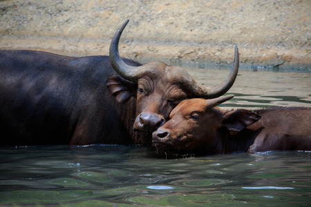 water buffalo: lovely face of mother and young kid wild african buffalo in water pool