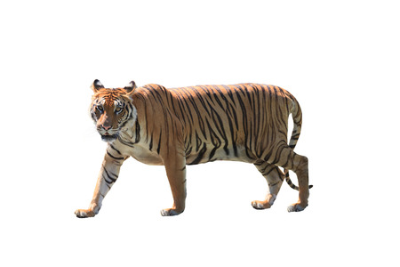벵골 호랑이의 가까이 얼굴 흰색 배경에 고립