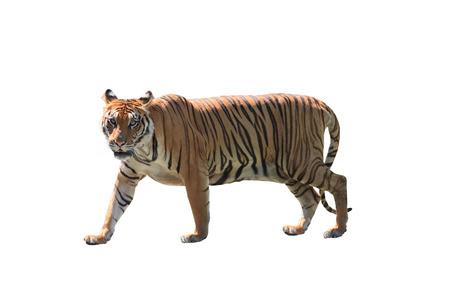 close-up maken van de Bengaalse tijger geïsoleerde witte achtergrond