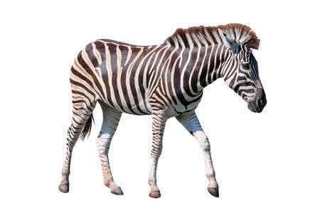 animales safari: vista lateral de cuerpo completo de cebra africana de pie aislado fondo blanco utilización de animales en tema de safari