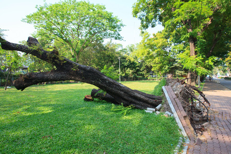 overthrow: uprooted tree in park