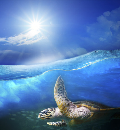 ocean water: turtle swimming under clear sea blue water with sun shining on sky above use for ocean nature background