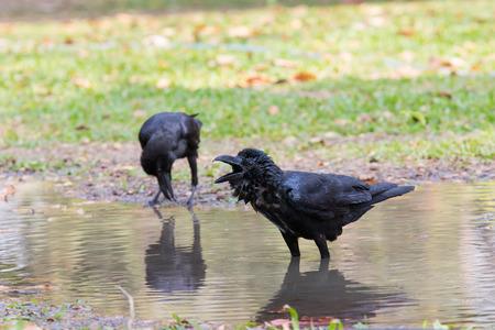 vida natural: escenario natural de bañarse cuervo en uso en el campo de la vida salvaje en naturaleza salvaje