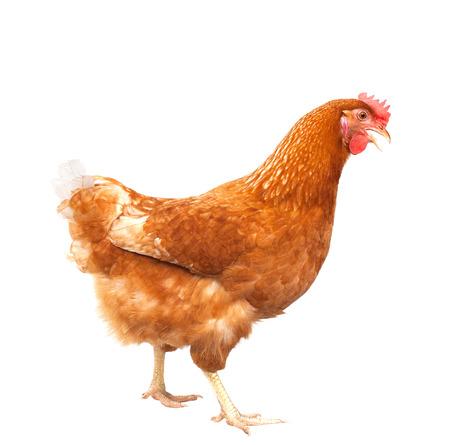 立っている茶色の鶏鶏の全身分離白背景用ファーム動物と家畜のテーマ