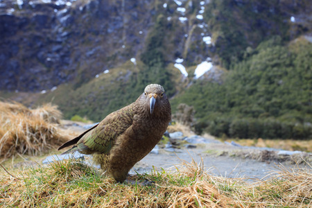 south island new zealand: kea bird in milford sound fjord land national park of south island new zealand Stock Photo