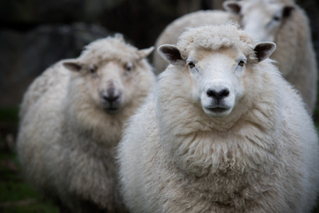 flock of sheep: close up face of new zealand merino sheep in farm