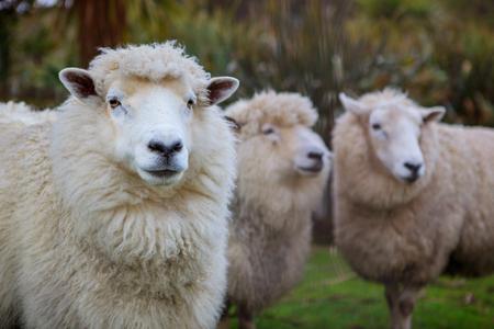 ファーム内のニュージーランドのメリノ羊の顔を閉じる