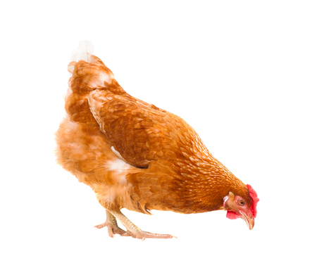 close up chicken hen eating something isolated white background