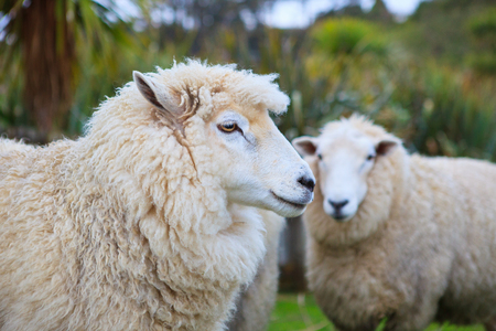 ovejas bebes: cerca de la cara de la nueva oveja merina zelanda en explotación ganadera rural