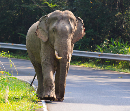 khaoyai: young male elephant in khaoyai national park important natural traveling destination in thailand