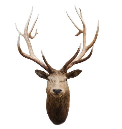 deer skull: head of wild deer and horn in fiordland national park new zealand Stock Photo