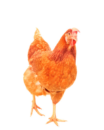 livestock: full body of brown chicken hen standing isolated white background use for farm animals and livestock theme