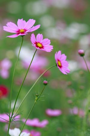 campo de flores: primer plano de campo de flores de cosmos rosado con la flama ligera atrás y desenfoque de fondo verde