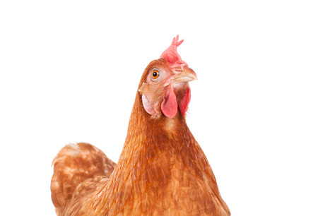 poultry: brown chicken hen standing isolated white background use for farm animals and livestock theme