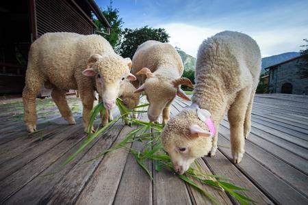 merino sheep: merino sheep eating ruzi grass leaves on wood ground of rural ranch farm with beautiful lighting