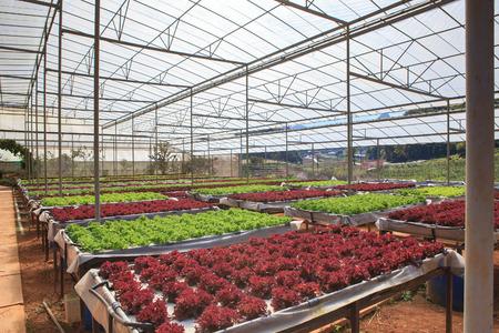 planta de la casa verde de la granja orgánica cultivo hidropónico de hortalizas