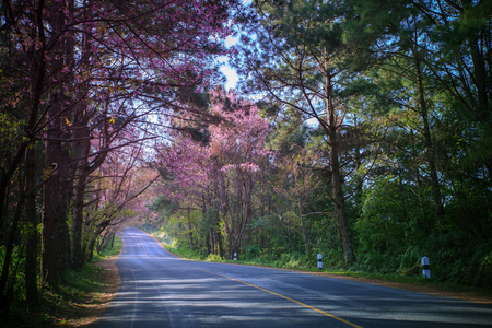 land scape: beautiful land scape of asphalt highway in mountain route with pink wild himalayan cherry flowers blooming season in doi angkhang chiangmai northern of thailand