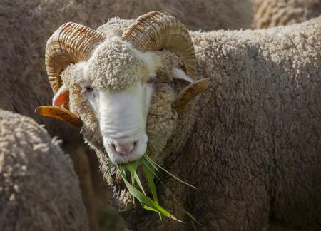 merino sheep: male merino sheep eating ruzi grass in rural ranch farm