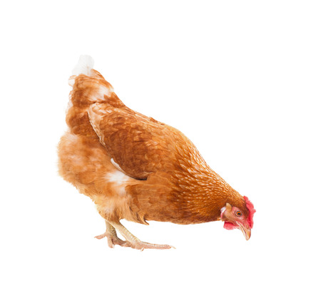 full body of brown chicken hen standing isolated white background use for farm animals and livestock theme Banco de Imagens - 53622276