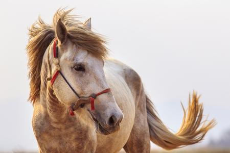 close-up hoofd geschoten van witte paard met mooie rand licht tegen een witte achtergrond