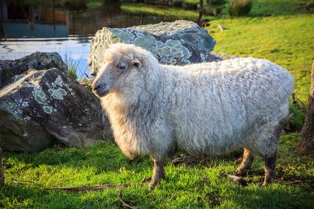 田舎の牧場でニュージーランドのメリノ羊を閉じる