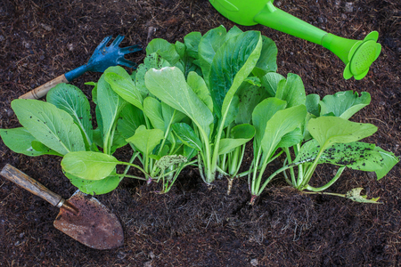 clean food: fresh green vegetable leaves with gardening tool in home garden farm use for natural clean food and leisure activities