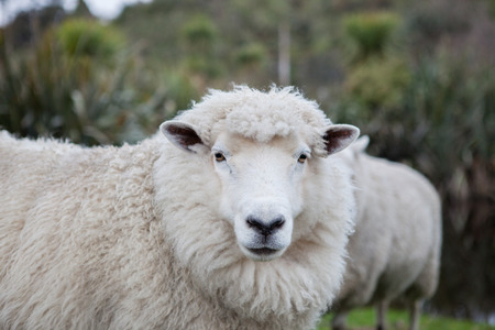 close up merino sheep in new zealand livestock farm Imagens