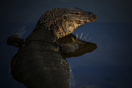 close up face of water lizard monitor in wilderness water pool Stock Photo